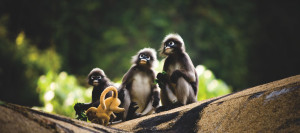 53 Spectacled Langur Family